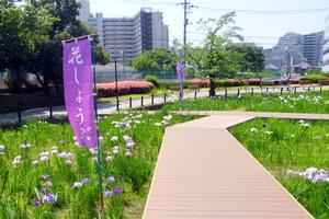 横十間川親水公園の花しょうぶが見頃を迎えました!